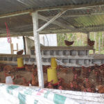 progetto galline ovaiole hermana tierra onlus portici Associazione di volontari laici e cristiani operante in Guatemala